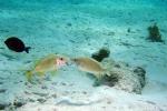 Franse grommer_Caribische Zee_Bonaire